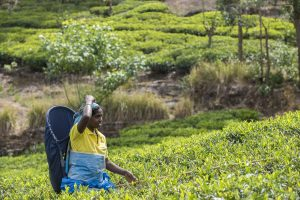 reportage Sri-Lanka thé